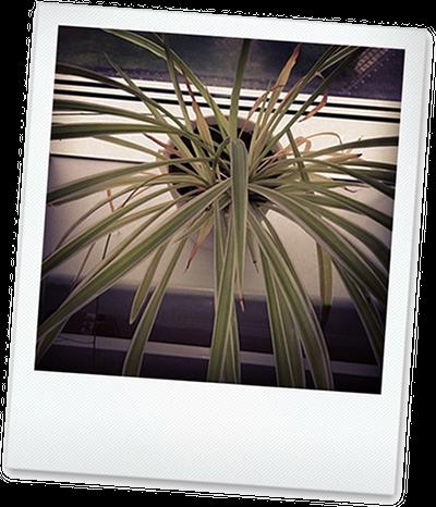 Bueropflanze Gruenlilie1