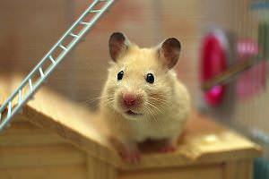 Haustier-Hamster