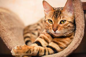 Haustier-Katze