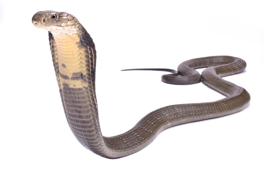 Kobra-Effekt: Gut gemeint macht es oft noch schlimmer